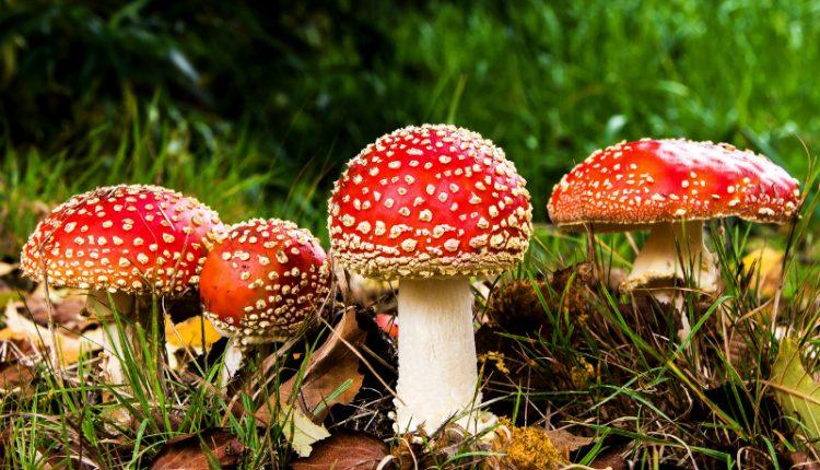 """Cogumelos mágicos têm """"chave"""" inovadora na luta contra a depressão"""